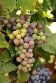 Zbiór winogron zagrożony