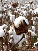 Zmniejsza się eksport bawełny