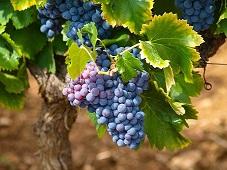 Więcej mołdawskich winogron dla Polski